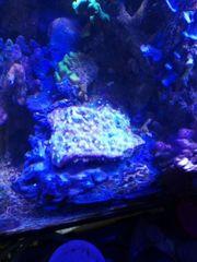 chalice Korallen nur als Ableger