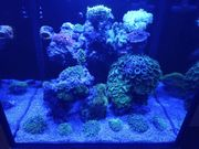 Meerwasser Koralle Goniopora