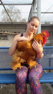 Suche dringend große Cochin Hennen