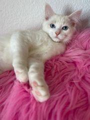 Neva Masquarade Ragdoll Kitten Kater