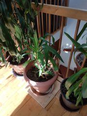 Yucca Palme 80 cm