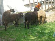 Lämmer Osterlamm Schafe