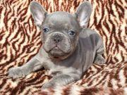 Reinrassige französische Bulldoggenwelpen zu verkaufen