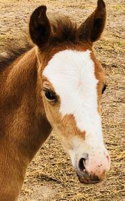 Criollo Fohlen Quarter Horse Fohlen