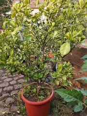 Schön buschig gewachsenes Mandarinenbäumchen abzugeben