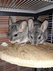 2 Chinchillas mit Zubehör