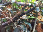 Acanthosaura Lepidogaster schwarzer Nackenstachler