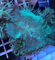Catalaphyllia Wunderkoralle Koralle Meerwasser