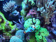 Diverse SPS LPS Korallen