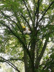Baum-Kronenschnitt vom Baumkletter-Profi mit Seilklettertechnik