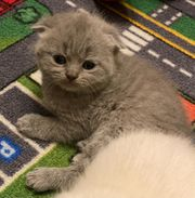 4 BKH Scottish Fold Kitten
