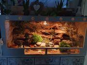 Leopardgeckos 6 mit Terrarium und