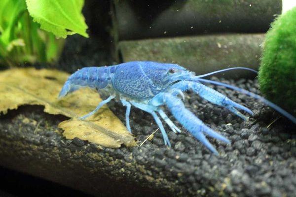 Suche Blaue Floridakrebse (Procambarus alleni)