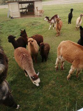 Sika nippon nippon , Alpakas und Mufflon aus Hobbyzucht abzugeben