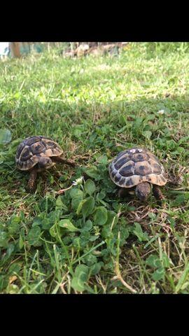 Gebe zwei Griechische Landschildkröten ab