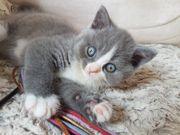 BKH Kitten blau-