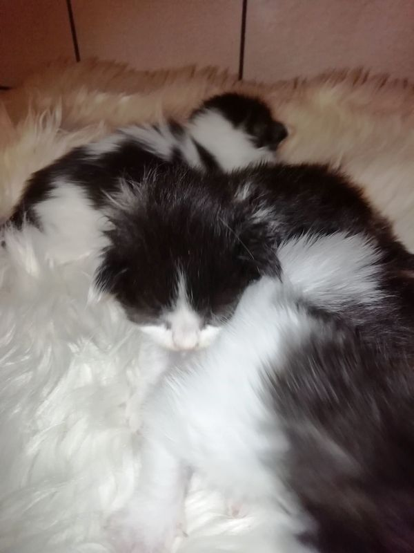 Maine Coon Kitten im Dezember