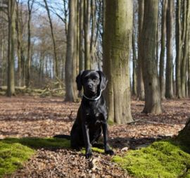 Deckrüde Labrador im Kleinformat 47cm: Kleinanzeigen aus Anderlingen - Rubrik Hunde