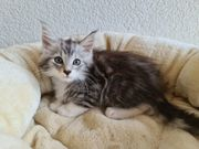 Maine Coon Kitten Kätzchen reinrassig