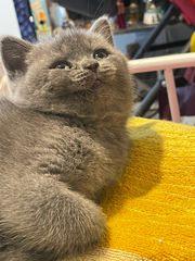 Süße BKH Katzen