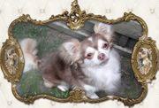Chihuahua Deckrüde mit Papieren und