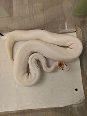 1 0 Python regius 2016