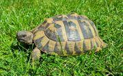 Adulte griechische Landschildkröte Weibchen