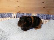 junges Ch Teddy Meerschweinchen Weibchen