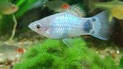 Blaue Platies an Aquarienfreunde abzugeben