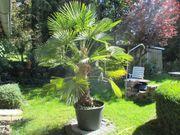 große Gartenpalme