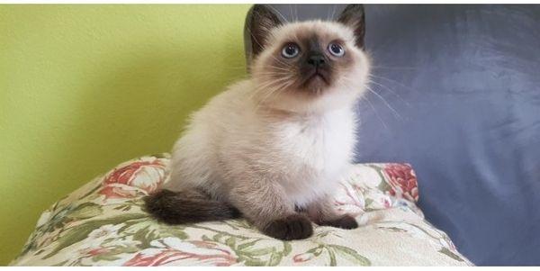 Süße Siam BLH Edelmix Kitten