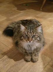 Langhaar Tigerkatze vermisst seit 08