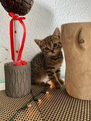 BKH -Scottish fold Kätzchen