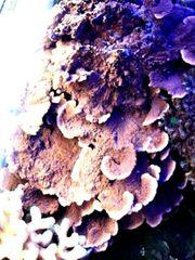 Meerwasser Koralle SPS Montiporaplatte xxl