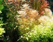 Meerjungfrauenpflanze RARITÄT Aquarienpflanzen Versand