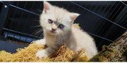 wunderschöner BHK Silber Katzenbaby