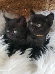 Reinrassige Bhk Kitten Ab sofort