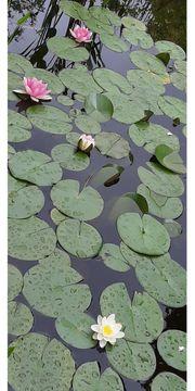 Seerosen mit Blütenknospen
