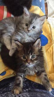 Katzenbabys Filderstadt Kaufen Tiere Tiermarkt In rWCexBoQdE