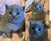 Reinrassige BKH Kitten Blue und