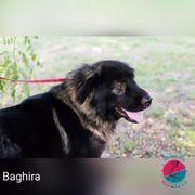 Baghira - sucht einen Menschen dem