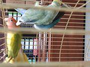 Agaporniden Unzertrennliche Jungvögel Papageie