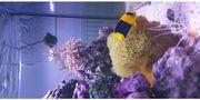 Zwergkaiser bicolor