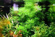 Wasserprimel RARITÄT Aquarienpflanzen Versand
