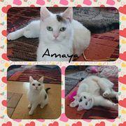 Wunderschöne Katze Amaya 1 Jahr