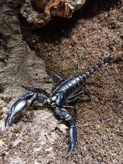 Heterometrus Laoticus Männchen Skorpion