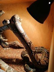 Boa constrictor NZ mit ca