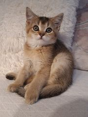 BKH Scotish Fold Kitten abzugeben