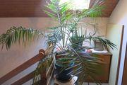Gepflegte Pflanze Phönix Palme