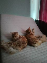 2 Main Coon Kater